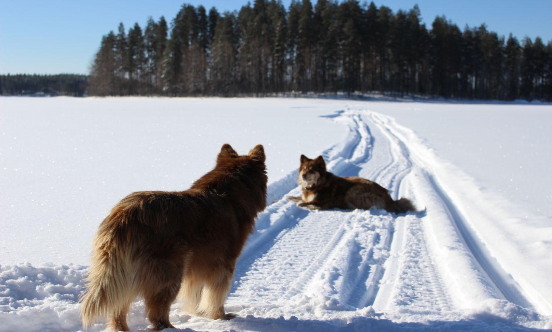 Koiria talvisilla reiteillä
