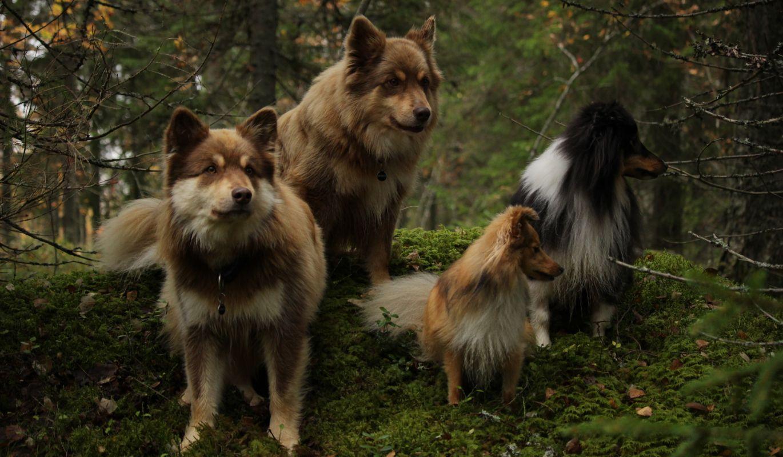 Koiria sammalikolla