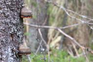 Metsän aarteina kantokääpiö